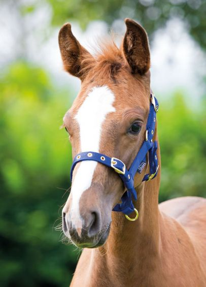 Shires Nylon Foal Headcollar - Royal Blue