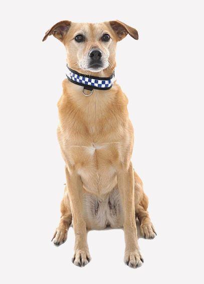Polite Reflective Dog Collar